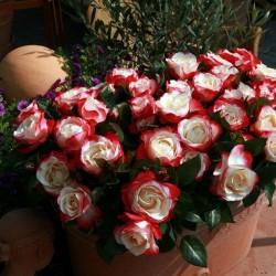 гибридная роза