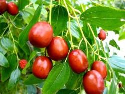 сочная ягода Зизуфус